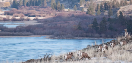 several white tail deer grazing next to a lake
