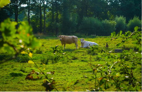 a standing brown cow and a sitting white cow staring at the photographer through some light foliage